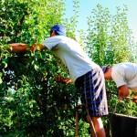 Trabajadores recolectando el fruto