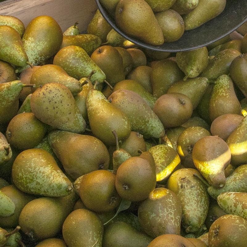 variedades-pera