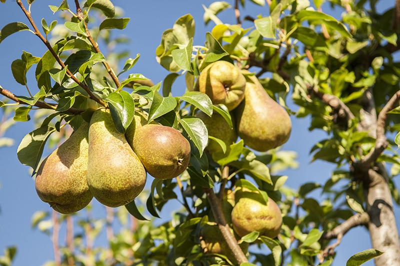 Cuando se podan los arboles frutales top poda de naranjos for Plantas frutales