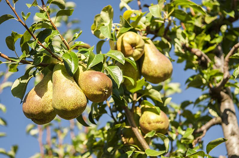 madurez-peras